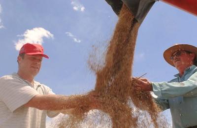 colheita-trigo-produtores-web