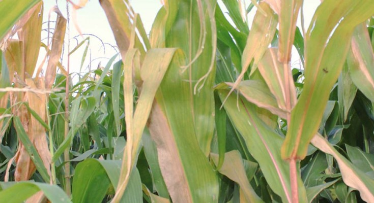milho-web-planta