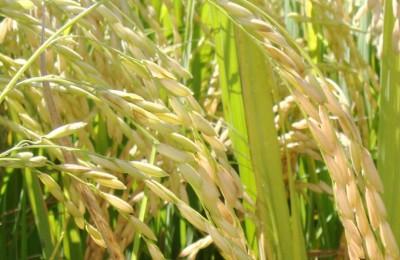 arroz-irrigado-web