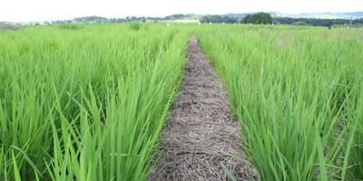 arroz_em_terras_altas_topo_201146144453
