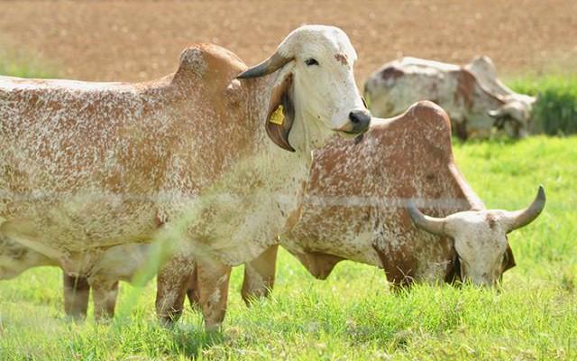 foto gado embrapa 2