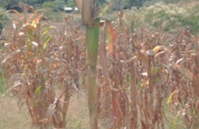 milho-jaquarão-web