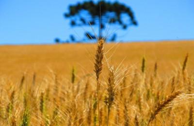 trigo-melhorado-embrapa-e-fepagro