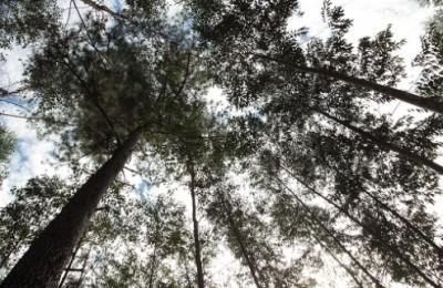 eucalipto_2