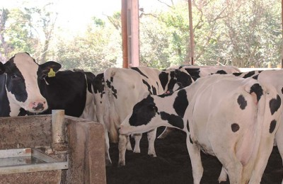 vaca-leite-web