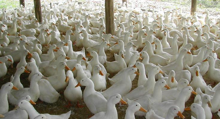 Foto Divulgacao - Criacao de Patos
