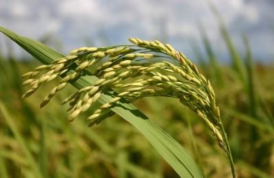 arroz conab
