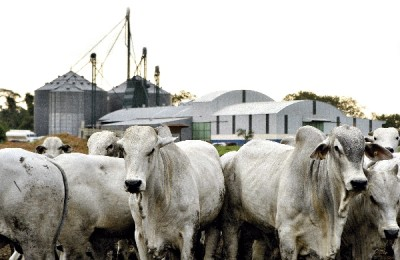 bovinos arabes