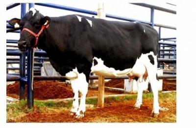 criador leite