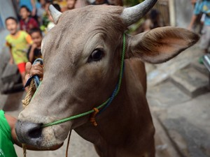 vaca (1)