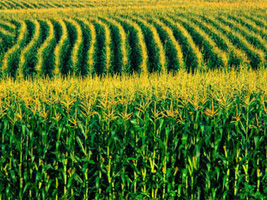 crops in the heartland