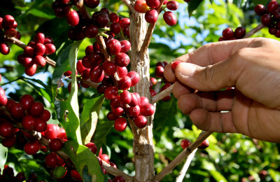 colheita cafe