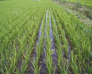 arroz05