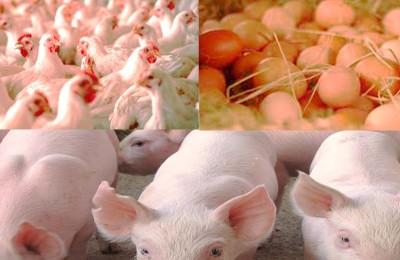 exportações-aves-suinos-ovos