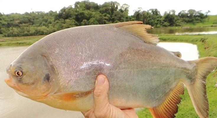 tambatinga-peixe-web