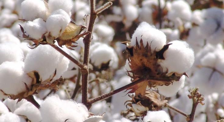 algodão-webb