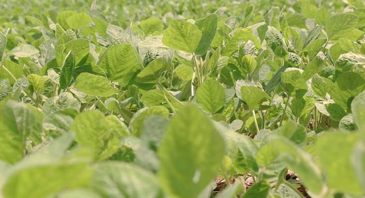 Visualmente, muitas lavouras, especialmente as plantadas mais cedo, apresentam bom desenvolvimento.