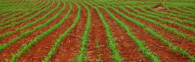 Milho-plantação-630x200