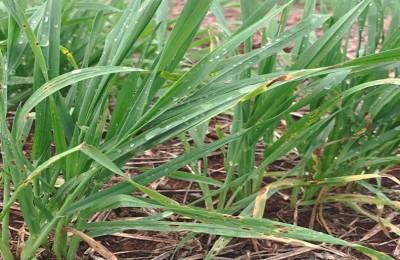 A mancha amarela causa uma lesão que necrosa a área foliar e afeta o rendimento de grãos.