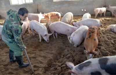Peste Suína na China