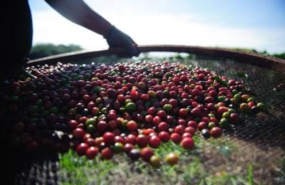 Produção de café