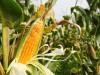 plantio-milho