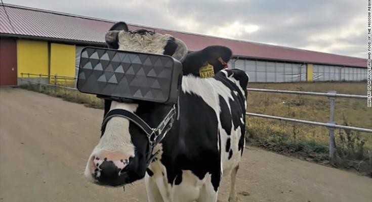 Vacas e Realidade Virtual