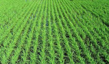 semeadura-do-arroz-357x210