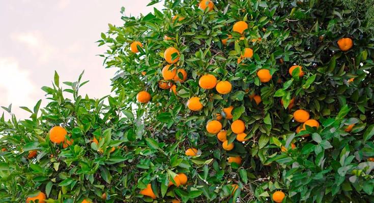 citrus_web