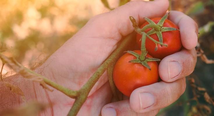 tomate_web
